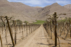 Chile - Vineyard cultivation Stock Images