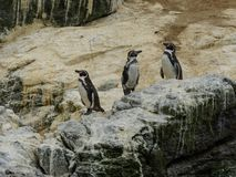 Chile a group of wild penguin patagonia royalty free stock photography