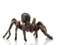 Chilean Beautiful Tarantula Stock Image