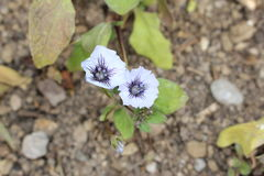 Chilean Bell flower - Nolana Humifusa stock photography