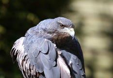 Chilean Blue Buzzard Eagle Stock Photos