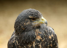 Chilean Blue Buzzard Eagle Royalty Free Stock Photography