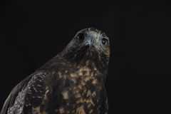 Chilean Blue Eagle on black background Royalty Free Stock Photography