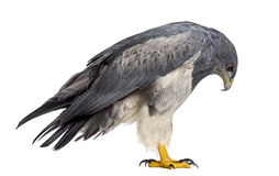 Chilean blue eagle - Geranoaetus melanoleucus. (17 years old) in front of a white background Stock Photo