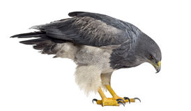 Chilean blue eagle - Geranoaetus melanoleucus. (17 years old) in front of a white background Stock Photography