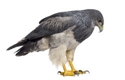Chilean blue eagle - Geranoaetus melanoleucus. (17 years old) in front of a white background Stock Photos