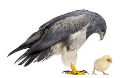Chilean blue eagle - Geranoaetus melanoleucus. (17 years old) looking at a chick in front of a white background Royalty Free Stock Image