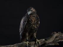 Chilean Blue Eagle Stock Photo