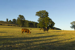 Chilean cattle industry Stock Photo