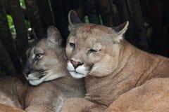 Chilean cougar (Puma concolor). Royalty Free Stock Photo