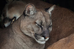 Chilean cougar (Puma concolor). Royalty Free Stock Images