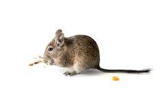 Chilean degu squirrel eating snack, closeup Stock Photography