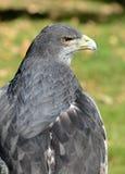 Chilean Eagle Portrait Royalty Free Stock Photo