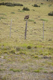Chilean Falcon in Torres de Paine Royalty Free Stock Photography