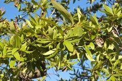 Chilean firetree (Embothrium coccineum) Stock Image