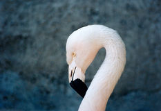 Chilean Flamingo. The head of a chilean flamingo, a close-up Royalty Free Stock Photography
