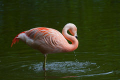 Chilean Flamingo Stock Photos