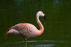 Chilean Flamingo Stock Images