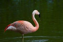 Chilean Flamingo Stock Images