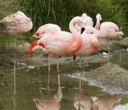 Chilean Flamingo. Some Chilean Flamingos, Phoenicopterus chilensis Royalty Free Stock Photo