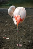 Chilean Flamingo. Pink Chilean Flaming cleaning itself and standing on one leg Stock Image