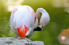 Chilean flamingo. Preening its feathers, Phoenicopterus chilensis Royalty Free Stock Images
