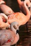 Chilean Flamingo Stock Photos