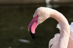 Chilean Flamingo Royalty Free Stock Photography