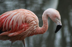 Chilean flamingo close stock image