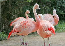 Chilean Flamingo Couple. Detail texture of flamingo's feather royalty free stock photo