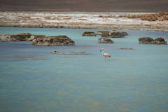 Chilean Flamingo in a Hot Water Royalty Free Stock Photos