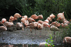 Chilean flamingo. Royalty Free Stock Photography