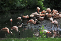 Chilean flamingo. Stock Photography