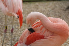 Chilean Flamingo - Phoenicopterus chilensis Royalty Free Stock Images