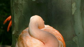 Chilean Flamingo (Phoenicopterus chilensis). stock video footage