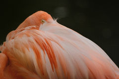 Chilean flamingo (Phoenicopterus chilensis). The Chilean flamingos bill is equipped with comb-like structures that enable it to filter food mainly algae and Stock Photo
