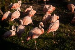 Chilean Flamingo (Phoenicopterus chilensis) Stock Photo