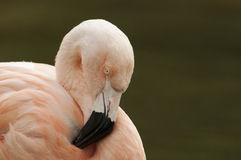 Chilean flamingo (Phoenicopterus chilensis)  Stock Image