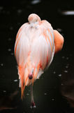 Chilean flamingo (Phoenicopterus chilensis). The Chilean flamingo's bill is equipped with comb-like structures that enable it to filter food mainly algae and Stock Photos