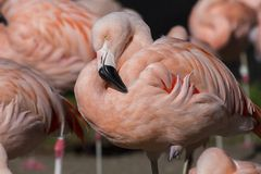 Chilean flamingo (Phoenicopterus chilensis) Royalty Free Stock Images