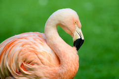 Chilean flamingo portrait Royalty Free Stock Photos