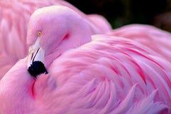 Chilean Flamingo. Side Profile of Chilean Flamingo Stock Photo