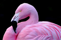 Chilean Flamingo royalty free stock image