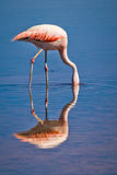 Chilean flamingo sink his head in a lagoon Royalty Free Stock Image