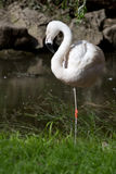 Chilean flamingo in small pond which stands on one foot Stock Photo