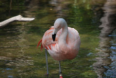 Chilean Flamingo Standing in Shallow Water. Childean flamingo standing in shallow water Royalty Free Stock Images