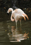 Chilean Flamingo. Wading Chilean Flamingo in pink breeding colours Stock Images