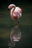 A Chilean Flamingo watching his reflection while w. A Chilean flamingo wading the water Royalty Free Stock Image