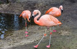 Chilean flamingo walking in the sand with other flamingos in the background, near threatened tropical birds from America. A Chilean flamingo walking in the sand stock images