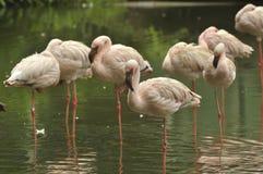 Chilean Flamingos Stock Image